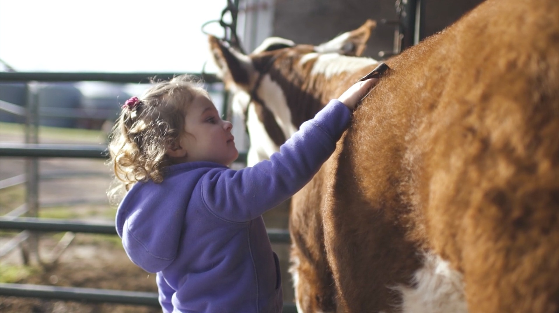 Hanson girl brushing hereford calf
